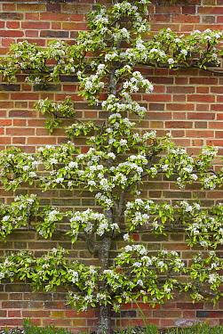 Common Pear (Pyrus communis) flowering, espalier growing against brick wall, Norfolk, England, April  -  David Burton/ FLPA
