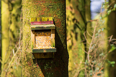 Eastern Grey Squirrel (Sciurus carolinensis) introduced species, feeder with maize for attracting squirrels to be trapped in area with native Eurasian Red Squirrel (Sciurus vulgaris), Cumbria, England...  -  Wayne Hutchinson/ FLPA