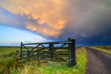 View of gate with cattle fencing and track on coastal grazing marsh habitat, with receding storm clouds at sunset, Elmley Marshes N.N.R., North Kent Marshes, Isle of Sheppey, Kent, England, October  -  Robert Canis/ FLPA