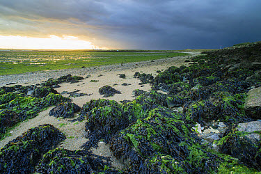 View of seaweed covered rocks on shore of estuary at low tide and approaching storm clouds, The Swale, Elmley Marshes N.N.R., North Kent Marshes, Isle of Sheppey, Kent, England, October  -  Robert Canis/ FLPA