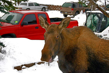 American Moose (Alces alces americana) adult, close-up of head, in snow covered urban carpark, Anchorage, Alaska  -  Mark Newman/ FLPA