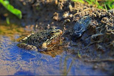 Bedriaga's Frog (Pelophylax bedriagae) adult, sitting in shallow water, Lesvos, Greece, April  -  Robin Chittenden/ FLPA