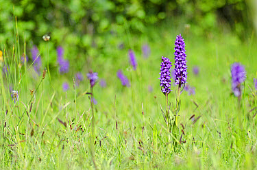 Southern Marsh Orchid (Dactylorhiza praetermissa) flowering, Wilwell Farm Cutting Local Nature Reserve, Nottinghamshire, England, June  -  Jack Perks/ FLPA