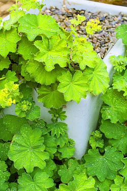Lady's Mantle (Alchemilla mollis) leaves with water droplets, growing from old enamelled sink in garden, England, June  -  Gary K Smith/ FLPA