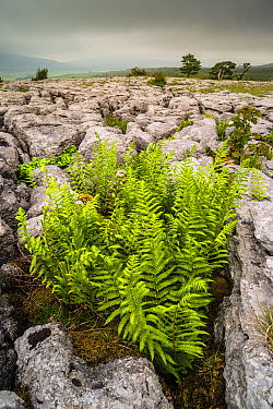 Rigid Buckler Fern Dryopteris submontana fronds, growing in crevice on limestone pavement, Southerscales, Ingleborough, Yorkshire Dales National Park, North Yorkshire, England, June  -  Robert Canis/ FLPA
