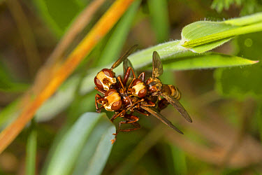 Thick-headed Fly (Sicus ferrugineus) three adults, in mating frenzy, Breckland, Norfolk, England, July  -  Roger Tidman/ FLPA