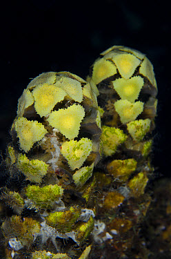 Spiny Leaf Seaweed (Turbinaria decurrens) at night, Lembeh Straits, Sulawesi, Greater Sunda Islands, Indonesia, June  -  Colin Marshall/ FLPA