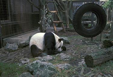 Bear, Panda (Ailuropoda melanoleuca) Chia Chia at London Zoo, feeding from dish in cage  -  David Hosking/ FLPA