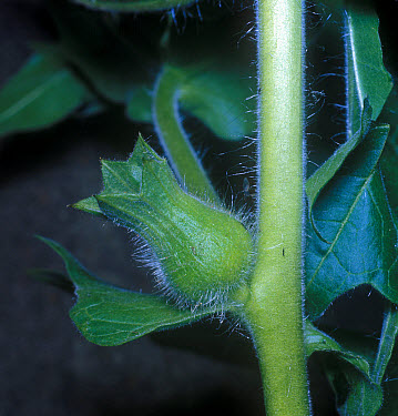Henbane (Hyoscyamus niger) Fruit  -  David Hosking/ FLPA