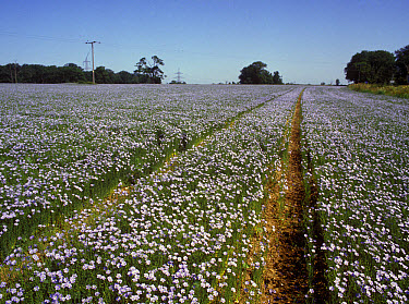 Farming, Crops Linseed, Field of linseed in flower, two months after drilling, tram  -  David Hosking/ FLPA