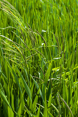 Barren brome, Bromus sterilis, and blackgrass, Alopecurus myosuroides, heading out in a wheat crop, Berkshire, England, June  -  Nigel Cattlin/ FLPA