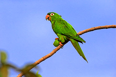 Blue-crowned Parakeet (Thectocercus acuticaudatus) adult, feeding on fig fruit, perched on twig, Pantanal, Mato Grosso, Brazil, May  -  Jurgen and Christine Sohns/ FLPA