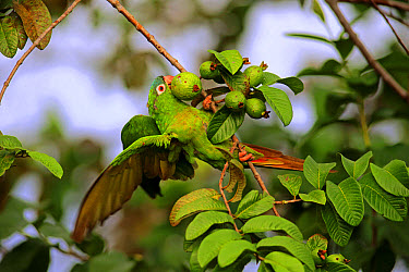 Blue-crowned Parakeet (Thectocercus acuticaudatus) adult, feeding on fig fruit, clinging to twig in tree, Pantanal, Mato Grosso, Brazil, May  -  Jurgen and Christine Sohns/ FLPA