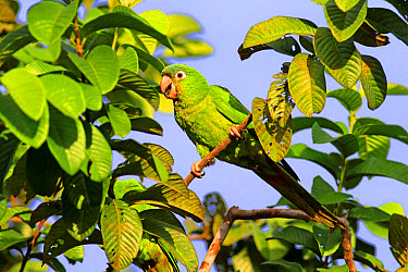 Blue-crowned Parakeet (Thectocercus acuticaudatus) adult, feeding, perched on twig in tree, Pantanal, Mato Grosso, Brazil, May  -  Jurgen and Christine Sohns/ FLPA