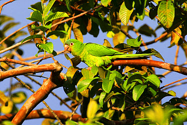 Blue-crowned Parakeet (Thectocercus acuticaudatus) adult, perched on branch in tree, Pantanal, Mato Grosso, Brazil, May  -  Jurgen and Christine Sohns/ FLPA