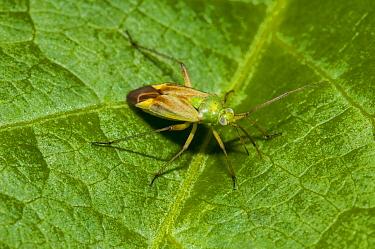 Potato Capsid Bug (Closterotomus norvegicus) adult, resting on leaf, Staveley Nature Reserve, North Yorkshire, England, July  -  Dave Pressland/ FLPA