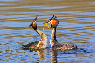 Great Crested Grebe (Podiceps cristatus) adult pair, breeding plumage, with weed offering, in courtship display on water, River Thames, Henley-on-Thames, Oxfordshire, England, April  -  Dickie Duckett/ FLPA