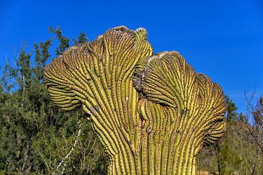Saguaro Cacti (Carnegiea gigantea) 'crested' abnormal growth due to fasciation, Arizona, U.S.A., February  -  Mark Newman/ FLPA