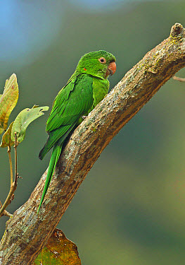 White-eyed Parakeet (Psittacara leucophthalma leucophthalma) adult, perched on branch, Atlantic Rainforest, Rio de Janeiro State, Brazil, June  -  Neil Bowman/ FLPA