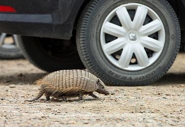 Big Hairy Armadillo (Chaetophractus villosus) adult, walking beside car in parking lot, Punta Norte, Valdes Peninsula, Chubut Province, Patagonia, Argentina, April  -  Ignacio Yufera / FLPA