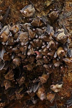 Cave Nectar Bat (Eonycteris spelaea) colony, roosting in cave, Bali, Lesser Sunda Islands, Indonesia, July  -  Ignacio Yufera / FLPA
