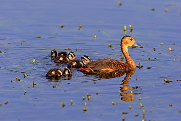 Lesser Whistling-duck (Dendrocygna javanica) adult with ducklings, swimming, Bundala N.P., Southern Province, Sri Lanka, March  -  Jurgen & Christine Sohns / FLPA
