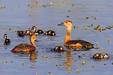Lesser Whistling-duck (Dendrocygna javanica) adult pair with ducklings, swimming, Bundala N.P., Southern Province, Sri Lanka, March  -  Jurgen & Christine Sohns / FLPA