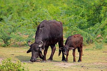 Domestic Water Buffalo (Bubalis bubalis) adult female and calf, walking on grass, Bundala N.P., Southern Province, Sri Lanka, March  -  Jurgen & Christine Sohns / FLPA