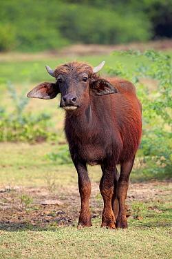 Domestic Water Buffalo (Bubalis bubalis) calf, standing on grass, Bundala N.P., Southern Province, Sri Lanka, March  -  Jurgen & Christine Sohns / FLPA