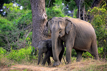 Asian Elephant (Elephas maximus maximus) adult female with calf, walking, Yala N.P., Sri Lanka, March  -  Jurgen & Christine Sohns / FLPA