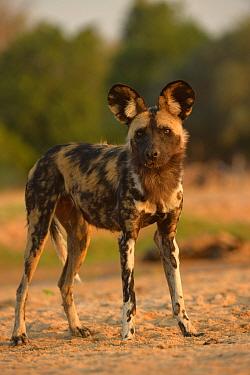 African Wild Dog (Lycaon pictus pictus) adult, standing, Mana Pools N.P., Mashonaland, Zimbabwe, November  -  Malcolm Schuyl / FLPA