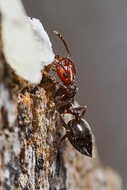 Ant (Crematogaster scutellaris) adult worker, feeding at bait on dead wood, Causse de Gramat, Massif Central, Lot Region, France, May  -  Richard Becker / FLPA