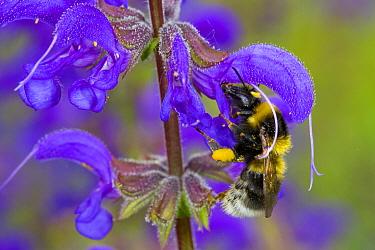 Garden Bumblebee (Bombus hortorum) adult worker, feeding on Meadow Clary (Salvia pratensis) flower, Causse de Gramat, Massif Central, Lot Region, France, May  -  Richard Becker / FLPA