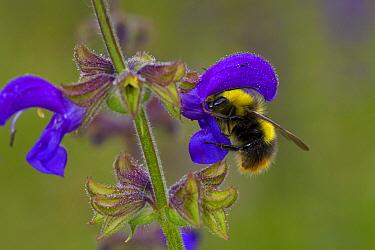 Early Bumblebee (Bombus pratorum) adult male, feeding on Meadow Clary (Salvia pratensis) flower, Causse de Gramat, Massif Central, Lot Region, France, May  -  Richard Becker / FLPA
