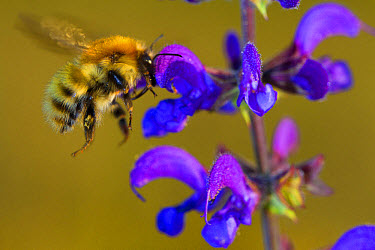 Brown-banded Carder Bee (Bombus humilis) adult worker, in flight, feeding on Meadow Clary (Salvia pratensis) flower, Causse de Gramat, Massif Central, Lot Region, France, May  -  Richard Becker / FLPA