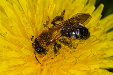 Grey-patched Mining Bee (Andrena nitida) adult female, feeding on dandelion flower, Powys, Wales, April  -  Richard Becker / FLPA