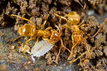 Ant Woodlouse (Platyarthrus hoffmannseggi) adult, with Yellow Meadow Ant (Lasius flavus) adult workers, in nest, Powys, Wales, May  -  Richard Becker / FLPA