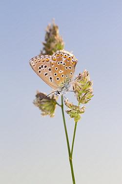 Adonis Blue (Lysandra bellargus) adult female, resting on grass flowerhead, Causse de Gramat, Massif Central, Lot Region, France, May  -  Richard Becker / FLPA