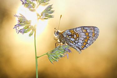 Heath Fritillary (Melitaea athalia) adult, roosting on grass flowerhead at sunset, Causse de Gramat, Massif Central, Lot Region, France, May  -  Richard Becker / FLPA