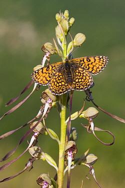 Glanville Fritillary (Melitaea cinxia) adult male, resting on Lizard Orchid (Himantoglossum hircinum) flower, Causse de Gramat, Massif Central, Lot Region, France, May  -  Richard Becker / FLPA