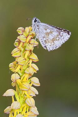 Safflower Skipper (Pyrgus carthami) adult, roosting on Man Orchid (Orchis anthropophora) flower, Causse de Gramat, Massif Central, Lot Region, France, May  -  Richard Becker / FLPA