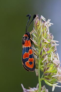 Burnet Moth (Zygaena hilaris) adult, resting on grass flowerhead, Causse de Gramat, Massif Central, Lot Region, France, May  -  Richard Becker / FLPA