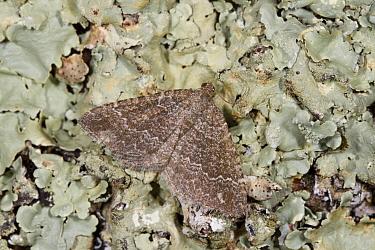 Pale Herringbone (Cataclysme riguata) adult, resting on lichen, Causse de Gramat, Massif Central, Lot Region, France, May  -  Richard Becker / FLPA