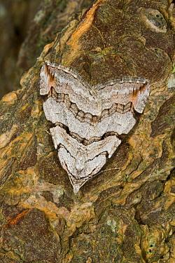 Treble-bar Moth (Aplocera plagiata) adult, resting on tree bark, Powys, Wales, May  -  Richard Becker / FLPA