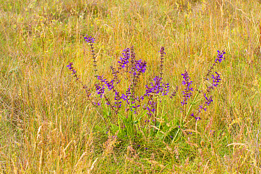 Meadow Clary (Salvia pratensis) flowering, growing in hay meadow, Causse de Gramat, Massif Central, Lot Region, France, May  -  Richard Becker / FLPA