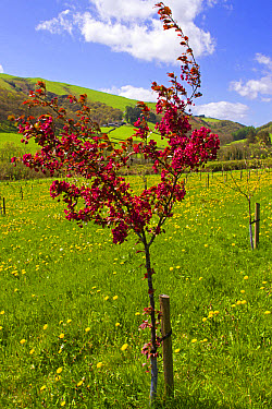 Cultivated Crabapple (Malus sp.) 'Harry Baker', flowering in organic orchard, Powys, Wales, May  -  Richard Becker / FLPA