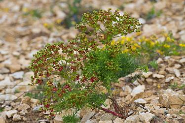 Cypress Spurge (Euphorbia cyparissias) in fruit, growing in broken limestone, Causse de Gramat, Massif Central, Lot Region, France, May  -  Richard Becker / FLPA