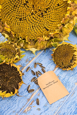 Sunflower (Helianthus annuus) seeds collected and saved from garden, England, October