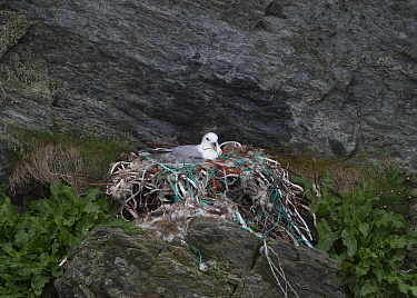 Northern Fulmar (Fulmarus glacialis) adult, sitting at nest, with manmade nesting materials, Unst, Shetland Islands, Scotland, May