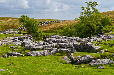 Outcrops of limestone showing typical erosion patterns of grykes and clints on flanks of hill, Ingleborough, Yorkshire Dales N.P., North Yorkshire, England, August